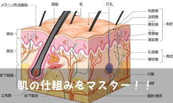 肌の仕組み