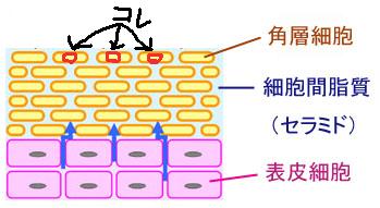 角質層構造